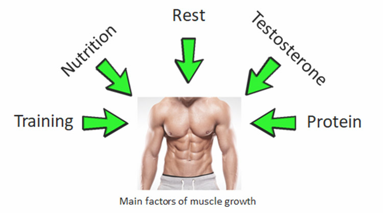 The Science of Muscle Growth